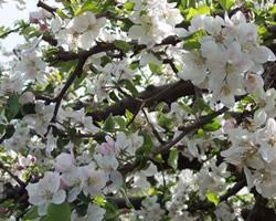 Beautiful Apple Blossums