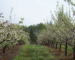 Orchard Blossums